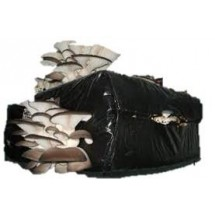 Domestic Production Kit Pleurotus